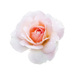 Photo of beautiful pink rose with drops of water isolated on white background for your card or design