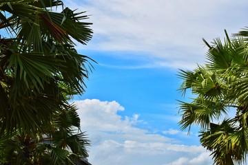 Sky and sugar palm tree.
