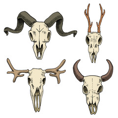 biology or anatomy illustration. engraved hand drawn in old sketch and vintage style. skull or skeleton silhouette. Elk and roe deer, bison or mountain goat. Animals with horns.