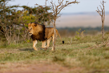 Wall Mural - Running big Lion Lipstick scares other young Lions out of his territory in Masai Mara, Kenya