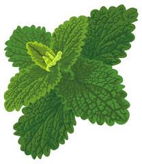 Vector art with nettle looks like melissa or mint.