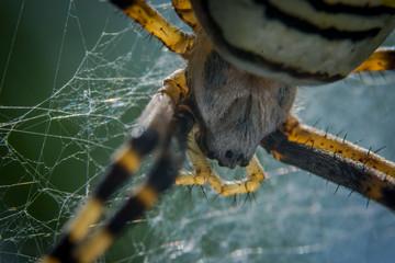 Wespenspinne, Spider, Wasp