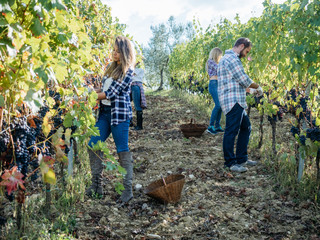Young adult friends harvesting red grapes in the vineyard