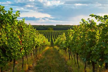 Aluminium Prints Vineyard Rows of vineyards in summer, South Moravian Region, Czech Republic