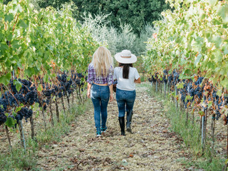 Two women friends harvesting red grapes together in the vineyard