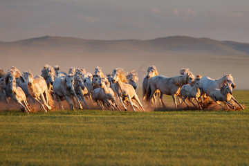 Mongolian white wild horses running on the endless grasslands