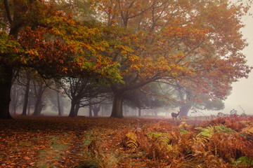 Fotobehang Meloen Seasonal encounters. Autumn in Richmond Park, with a deer appearing through the mist amid the full colors of autumn leaves on display.