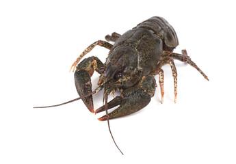 Fresh live crayfish isolated on white background