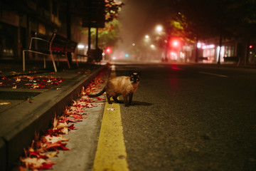 cat crossing the road in a foggy night