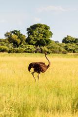 Ostriches in the Moremi Game Reserve (Okavango River Delta), National Park, Botswana