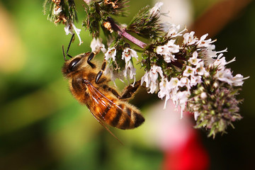 Honey bee bees feeding on peppermint flower Apis mellifera honeybee