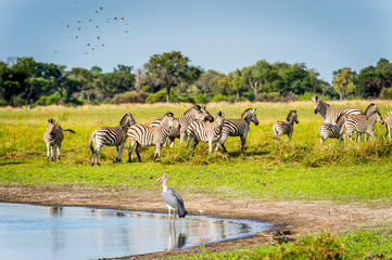 Zebras flock in the Moremi Game Reserve (Okavango River Delta), National Park, Botswana
