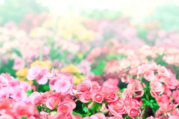 pink begonia garden vintage style have copy space