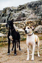 A pair of great danes standing at attention outside