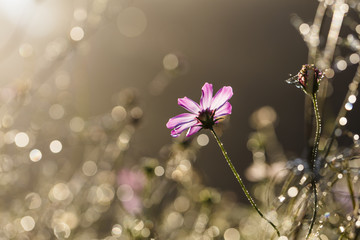 Water droplets on a pink flower with bokeh under backlight
