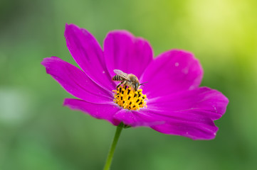 Bright purple flower with bee. Delicate flower space outdoors closeup. Macro bee.