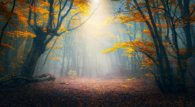 Fairy forest in fog. Fall woods. Enchanted autumn forest in fog in the morning. Old Tree. Landscape with trees, colorful orange and red foliage and blue fog. Nature background. Dark foggy forest