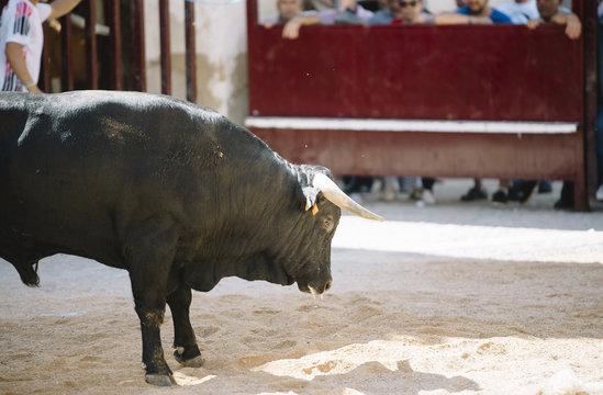 black bull on the sand