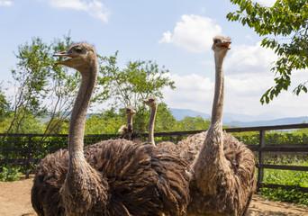 Fotobehang Struisvogel Four Ostrich in a Fenced Area on the Farm.