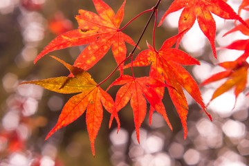 Fall Color Maple Leaves at the Forest in Kochi, Japan