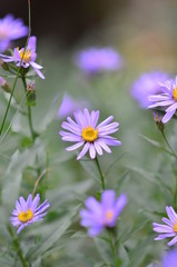 Alpine Aster at Mountain Rainier
