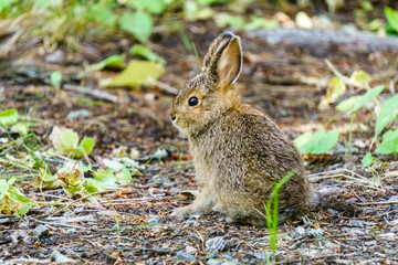 baby brown hare or bunny on forest floor.