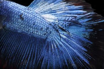close up of Betta Siamese fighting fish