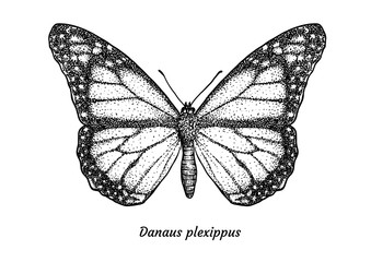 Monarch butterfly illustration, drawing, engraving, ink, line art, vector