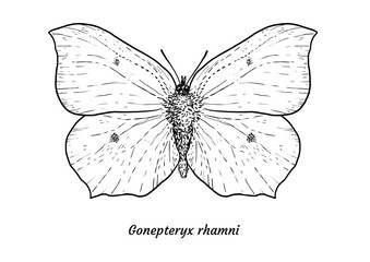 Common brimstone butterfly illustration, drawing, engraving, ink, line art, vector