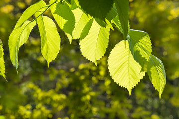 backlit hazelnut tree leaves in springtime