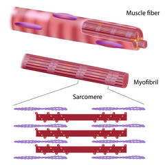 Structure of a skeletal muscle fiber
