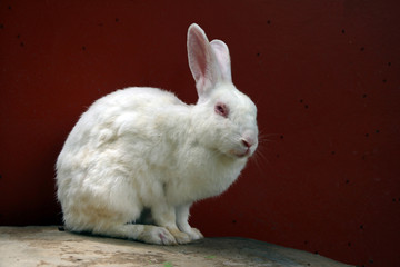 White rabbit sitting on the rock table and red background. It is a burrowing, gregarious, plant-eating mammal with long ears, long hind legs, and a short tail.