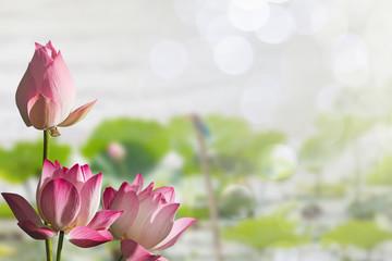 Garden Poster Lotus flower Pink lotus flowers on blurred lotus leaves in lake with soft bokeh background