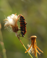 Macro photography of mating insects with blur background