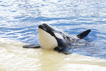 Close Up of a killer whale or orca (orcinus orca) in blue water