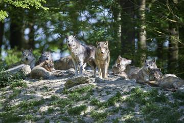 Wolfsrudel in der Sonne