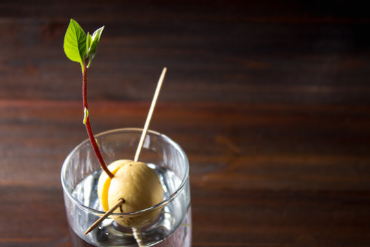 The avocado sprout grows from the seed in a glass of water. A living plant with leaves, the beginning of life on a wooden table.