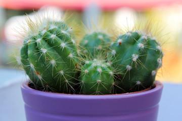 Kaktus in lila Blumentopf