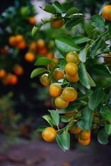 Kumquat trees and fruits