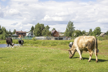 Black and white and ginger cows on a grass field in sunny day in Russian village