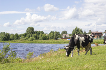 Black and white cow on a grass field near the river bank in sunny day in Russia