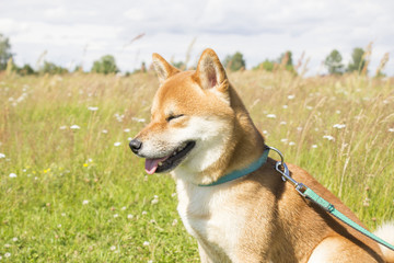 Sitting shiba-inu dog with closed eyes on a grass field in sunny day