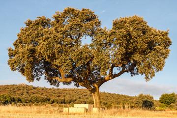 Encina. Quercus ilex.