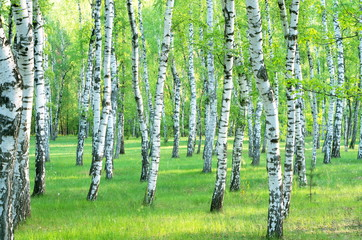 birch grove in the summer. Landscape