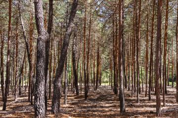 Bosque de Pino silvestre, albar. Pinus sylvestris. Sierra de la Culebra, Zamora, España.