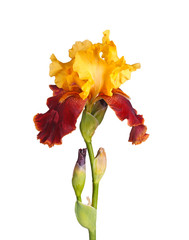Stem with yellow and burgundy iris flower isolated on white