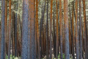 Pinus sylvestris. Pinar. Pino silvestre, albar. Sierra de la Culebra, Zamora, España.