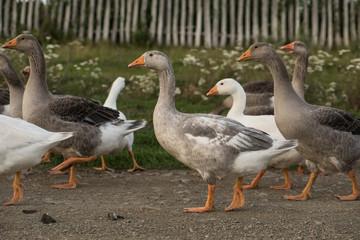 Flock of geese walking rural road