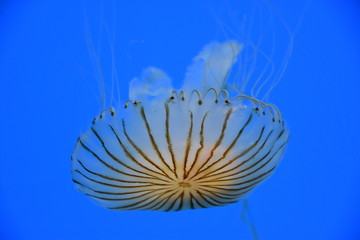 Japanese Sea Nettle Jellyfish