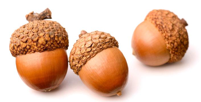 acorns isolated on white background